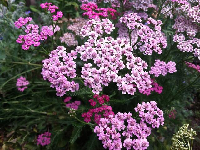 květoucí řebříček