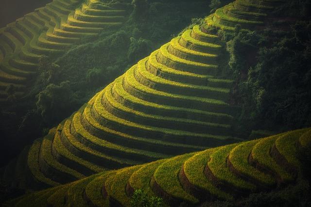 vietnamská rýžová plantáž